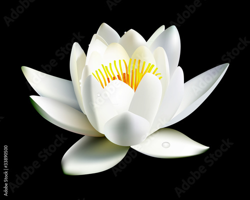 white water lily flower - 33890500