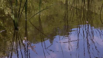 Reed and blue sky reflected in water