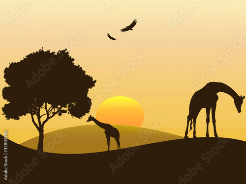 Giraffes eating on the african savana