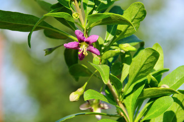 Goji Bluete - goji berry flower 03