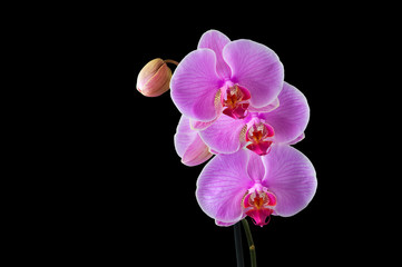 Phalaenopsis - Tropical Orchid against Black Background