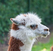 Profile of a white and brown Llama against a blurred background