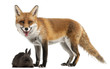 Red Fox, Vulpes vulpes, playing with a rabbit in front of white