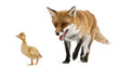 Red Fox, Vulpes vulpes, playing with a domestic duckling