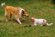 Cavalier king charles spaniel and scottish collie playing.