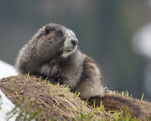 Hoary Marmot Emerging from Hibernation