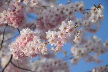 Mandelblüten - Kirschblüten
