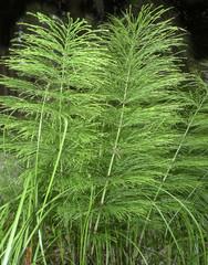 herb - horsetail