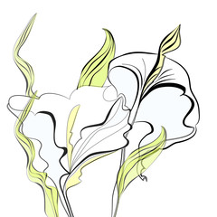 Beautiful calla lilies flowers