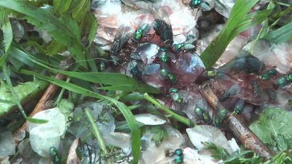 HD 1080 shot of flies eat waste.