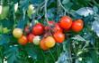 Pianta di pomodorini nell'orto