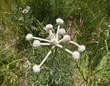 Ranger Buttons Alpine Flower