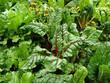 Mangold im Garten