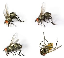 Dead horse flys