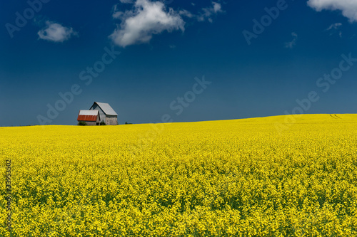 Bright Yellow mustard field against blue sky