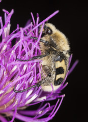 Trichius fasciatus feeding on flower