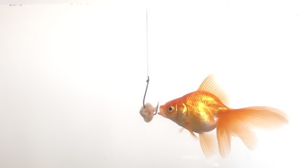 goldfish and bait
