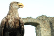 Sea eagle at ruins of a castle, Haliaeetus albicilla