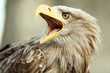 Sea eagle with open beak, eagle, Haliaeetus albicilla