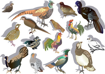 fifteen gallinaceous birds