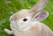 Rabbit Close Up With Defocused Background
