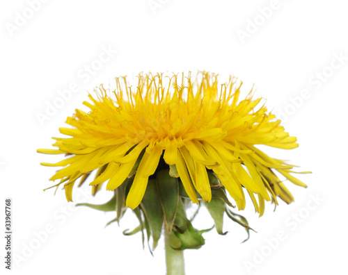 Fotobehang Paardebloem Yellow dandelion isolated on a white