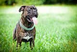 Brindle boxer dog standing in grass poster