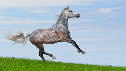 Dapple-gray arabian galloping horse