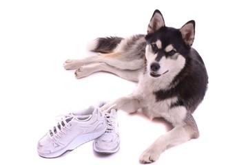 Junghund Husky mit Sportschuhe