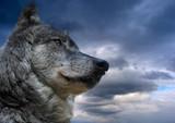 Fototapeta chmury - wolność - Dziki Ssak