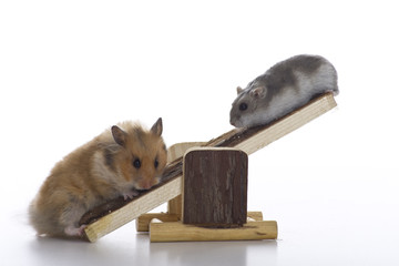 Weight comparison between hamsters