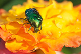 Rose chafer on yellow flowers poster