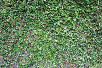 ivy growing up the wall
