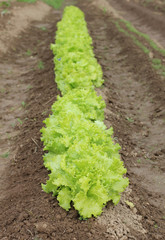 Bed lettuce
