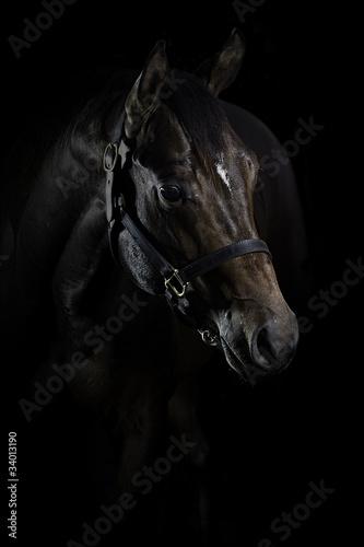 Quarter Horse Hengst Portrait