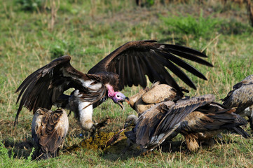Lappet-faced vulture near the dead wildebeest, Masai Mara