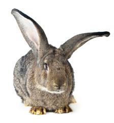 Beautiful big rabbit