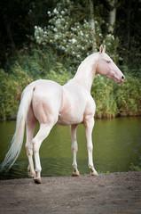 Cremello Akhal-teke stallion portrait