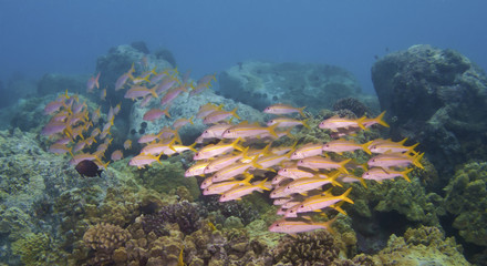School of Goatfish in Kona Hawaii