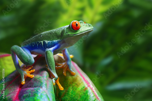 Red-Eyed Tree Frog - 34031556