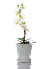 Beautiful white orchid in a pot