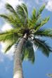 Kokosnusspflücker Samana