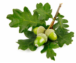 green acorn fruits with