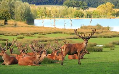 Troupeau de cerfs paisible sur décor de nature