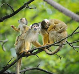 Squirrel monkeys on tree branch with their cute little babies