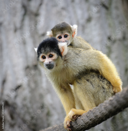 Squirrel monkey with its cute little baby