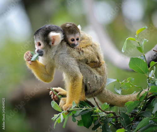 Keuken foto achterwand Aap Squirrel monkey with its baby