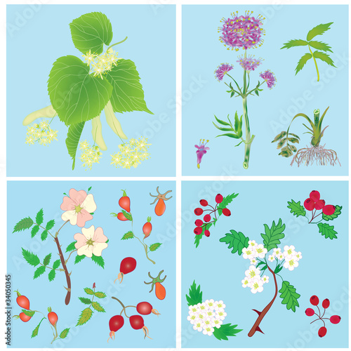 Set of  officinal plants- linden,valerian,dog rose, hawthorn
