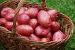 Kartoffelernte Erntehelfer Kartoffelsorte