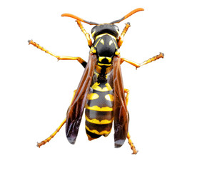 Live wasp isolated